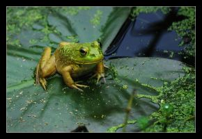 Bullfrog by thequiet1