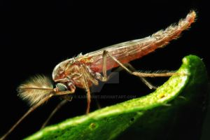 mosquito by karman87