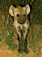 Hyena Cub by Michi8