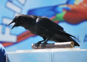 american crow 1.2 by meihua-stock