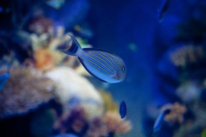 blue fish by theprodiqy
