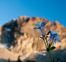 Columbines by mikewheels