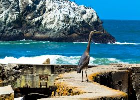 Great Blue Heron at Sutro by BertLePhoto