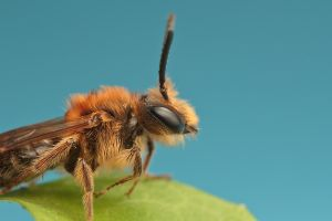 Eucera nigrescens by snomanda