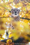 Cheetah on a Tree by amrodel