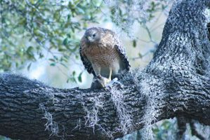 Hungry Hawk 1 by PrissWolfwood