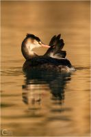 Great Crested Grebe v.2 by ClaudeG