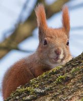 Red squirrel by starykocur