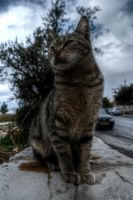 Jerusalem Cat HDR by FinnianTerra