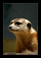 Zoo: Whiskers by Phoenixtear