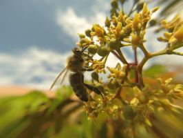Honey Bee a Macro with GoPro (1) by SylkunGraphX