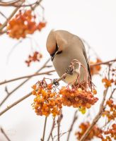 Bohemian Waxwing - The Nod by JestePhotography