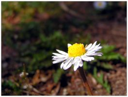 Yet Another Daisy Shot by velenux
