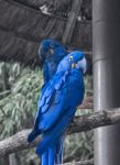 Pair of Hyacinth Macaw by DFWHDR
