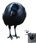Cut-out stock PNG 131 - thoughtfull jackdaw by Momotte2stocks