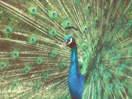 Peacock by gendosplace