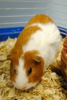 Demetri the Guinea Pig by Strange-1