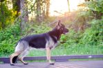German Shepherd Dog - 5 years 2 months by petrichore