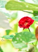 Button Rose by ColinSydney