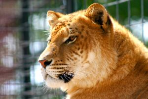 L0VELY LIGER by TlCphotography730