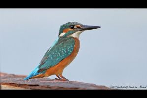 Kingfisher by RichardConstantinoff