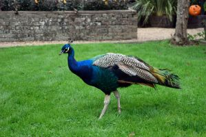 DSC 0020 Hungry Peacock by wintersmagicstock