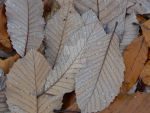 Leaves by MyantheMayan