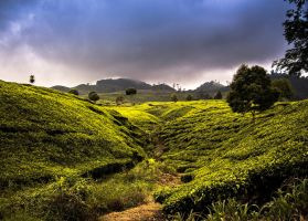 Tjibuni Tea Plantation - West Java by sabanwarschow