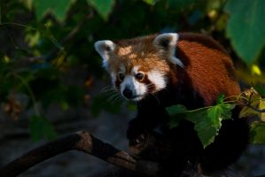 Red Panda I by werram