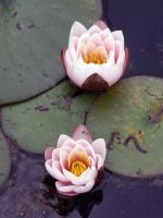 Two rose waterlily by Evanderiel