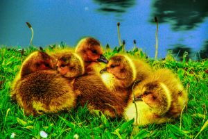 Golden Goslings 2013.05.21 by TMProjection