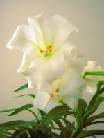 Easter Lily by Blinded-Stock