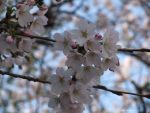 THE BEAUTY OF BLOSSOM by GeaAusten