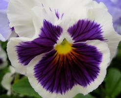 Pansy II by PoliticalViolet