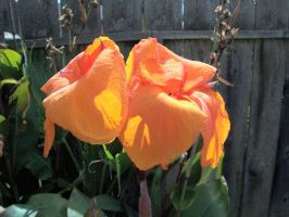 Canna Lilies by MikeHungerford