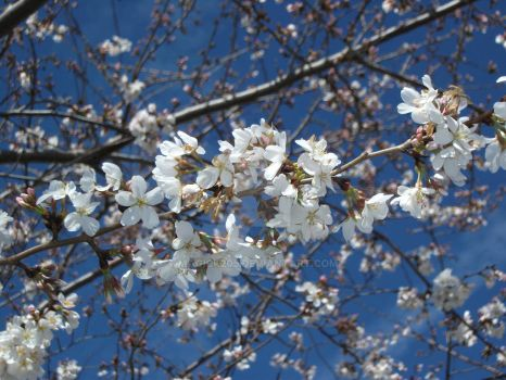 Cherry Blossoms Detail by Magick205