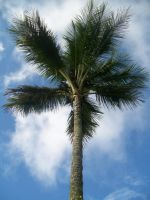 Backyard coconut tree by BlueberryCrazy