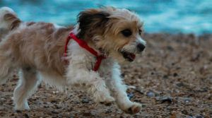 Close up puppy sprinting on the sands by Samuel-Benjamin