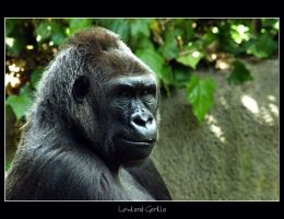 Lowland Gorilla by WindCrest
