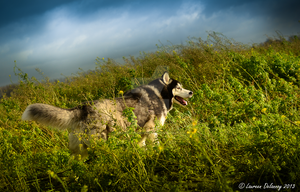 Husky in the Wind by WinonaPhotographie