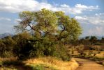 Another Marula Tree by parallel-pam