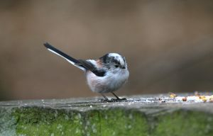 Long Tailed Tit Stock by Redherc46
