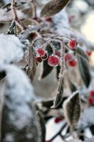 Winter Berries by MUNRO-JAMIE