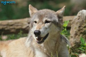 Timber Wolf 8178 by mgroberts