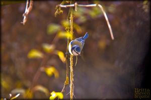 Bluetit by brijome