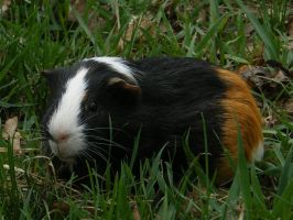 A little cavy by An-Drake