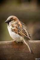 Sparrow by Mob1