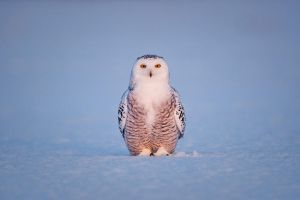 Snowy Owl at Last Light by AlexMody