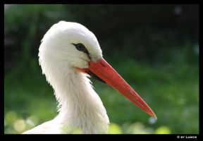 Face of a stork by Lunchi