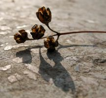 dry flower by dianora